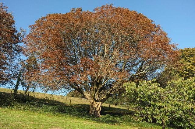 Horse chestnut, Coleton Fishacre