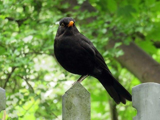 A blackbird in Barracks Lane