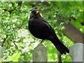 SP5305 : A blackbird in Barracks Lane by Steve Daniels