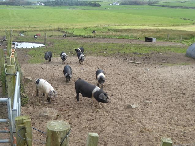 Pig pen near Port Logan