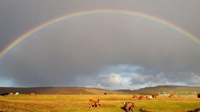 Cows under a rainbow, Baltasound