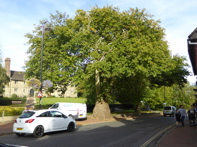 Tree by Sackville College, East Grinstead