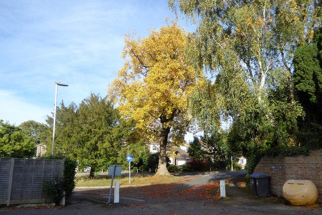 Tree, St. Swithun's Close, East Grinstead