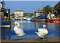 NT9464 : Swans at Eyemouth Harbour : Week 41