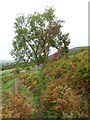 SO1426 : Ash tree beside a bridleway by Philip Halling