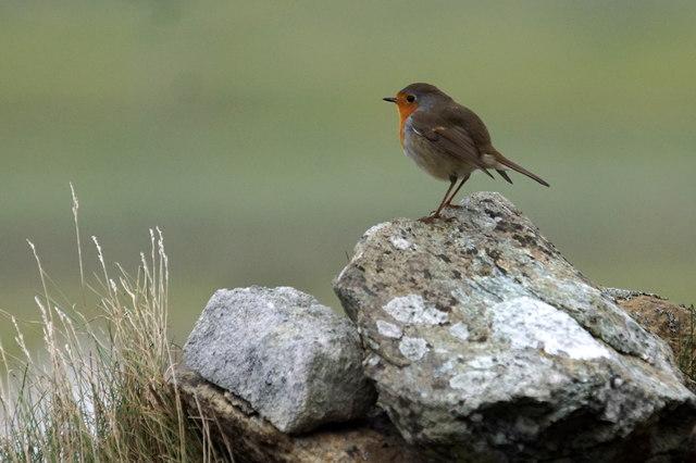 European Robin (Erithacus rubecula), Hillside, Baltasound
