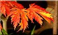 SO7119 : Acer japonicum aconitifolium : Week 41