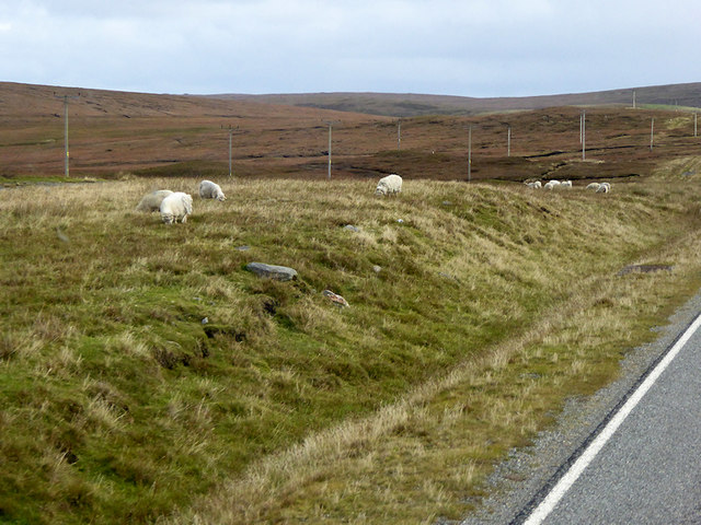 Sheep Grazing by the roadside on Yell