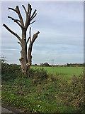 TA1645 : Heavily lopped tree, Wassand Balk by Paul Harrop