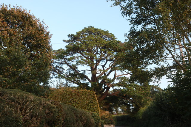 Large conifer on Rectory Hill, Sutton Montis