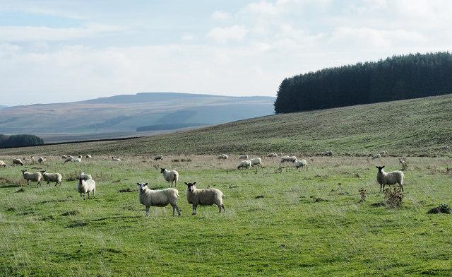 Sheep on rough grazing near to Cock Ridge