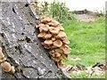 SO8891 : Himley Mushroon by Gordon Griffiths