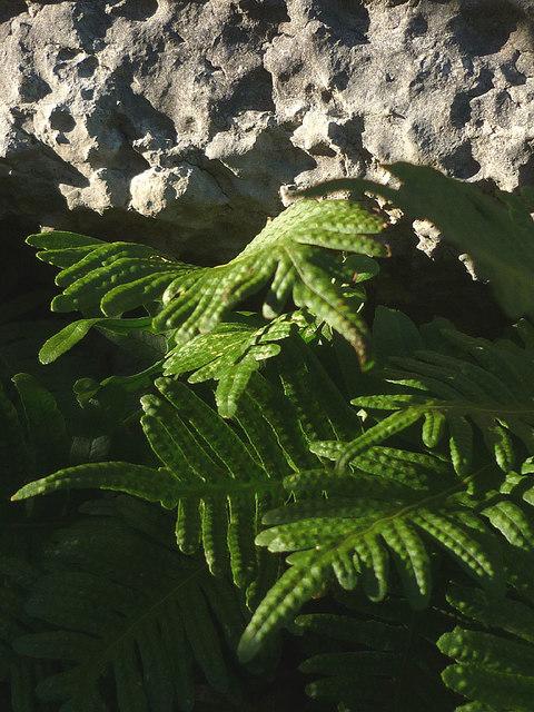 Ferns, Newbiggin Crags