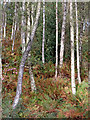 SO8282 : Birch woods on Kinver Edge in Staffordshire by Roger  Kidd