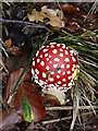 SP9208 : Fly Agaric (Amanita muscaria) - Young fruiting body by Rob Farrow