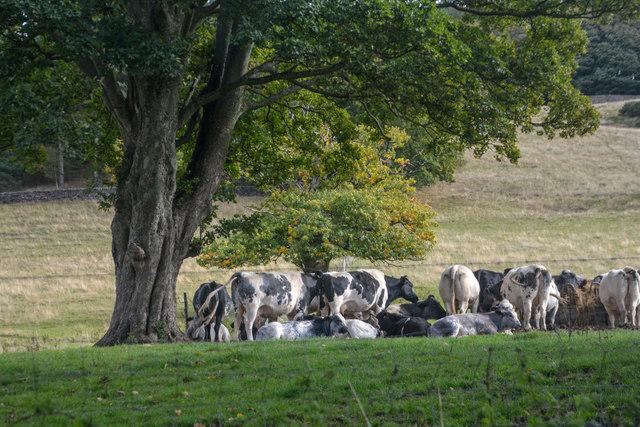 Hathersage : Grassy Field & Cattle