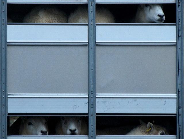 Transporting sheep, Ulsta