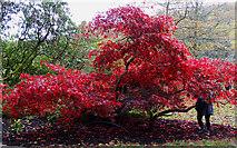 ST7734 : Maple, Stourhead by Brian Robert Marshall