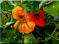 H4572 : Nasturtium blossoms, Omagh by Kenneth  Allen