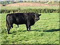 SO8542 : Aberdeen Angus bull by Philip Halling