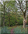 SO8383 : Woodland track near Kinver Edge in Staffordshire by Roger  Kidd
