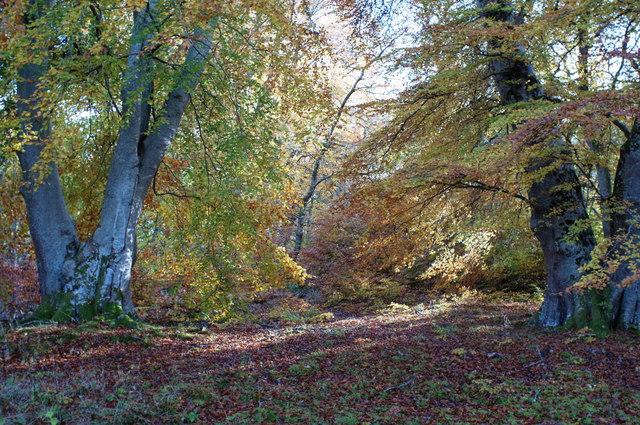 Beeches in Drummondreach Oak Wood