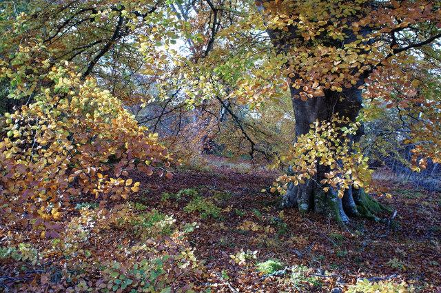 Beech leaves in autumn, Drummondreach Wood