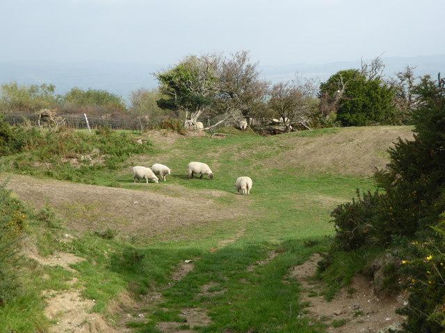 Sheep grazing at Pilsdon Pen