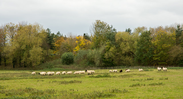 Sheep in field at Low Coniscliffe