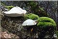 NJ0224 : Bracket Fungus by Anne Burgess
