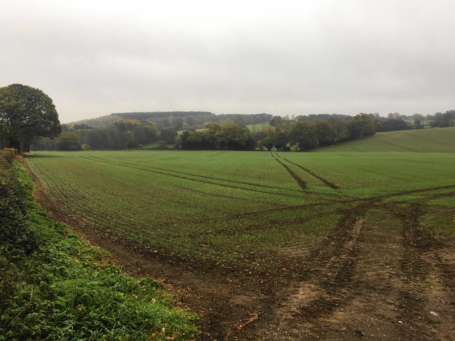 Emerging crop at Hill Wood