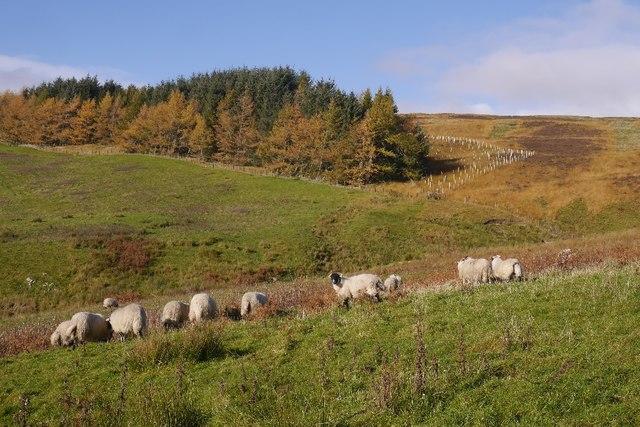 Sheep, Craigierig