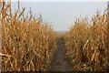 SE4674 : Maize Crop at Church Farm near Little Sessay by Chris Heaton