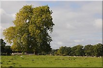 SO8844 : A London plane tree in Croome Park by Philip Halling