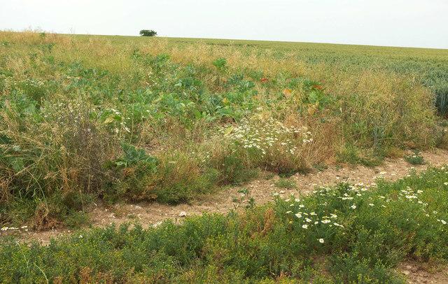 Headland, wheat and tree
