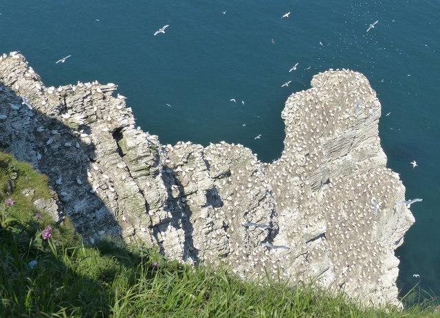 Gannets nesting on Scale Nab