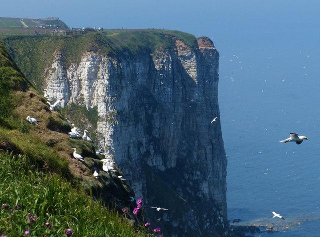 Gannets on the Bempton Cliffs
