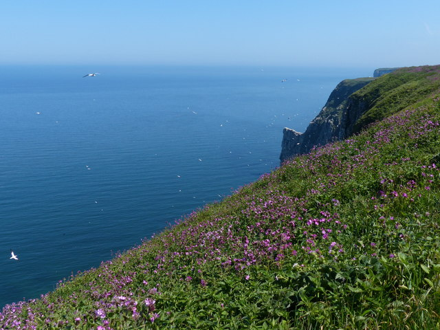 Red Campion on the Bempton Cliffs