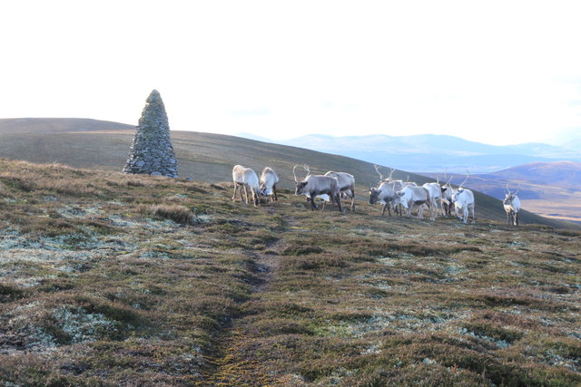 Reindeer on the Hills of Cromdale