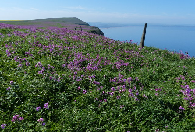Red Campion at the Buckton Cliffs