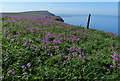 TA1774 : Red Campion at the Buckton Cliffs by Mat Fascione