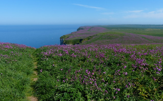 Red Campion on the Buckton Cliffs
