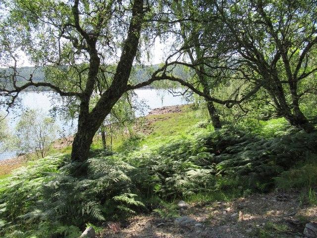 Birches beside Loch Beinn a' Mheadhoin