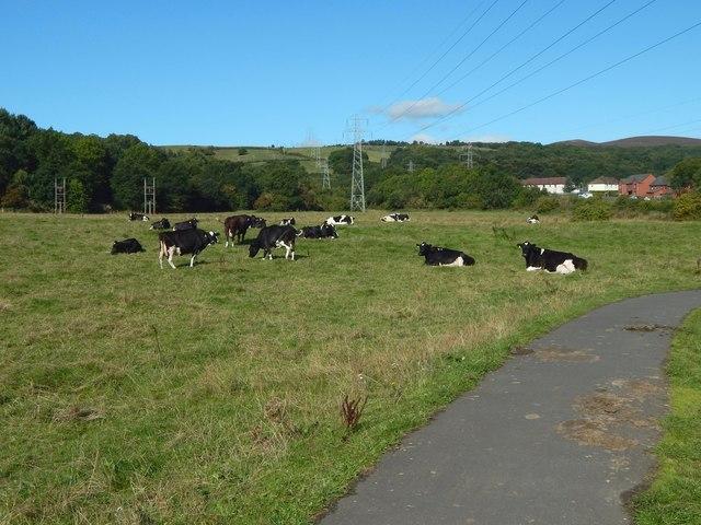 Cows at Pillanflatt
