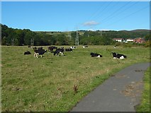 NS3977 : Cows at Pillanflatt by Lairich Rig