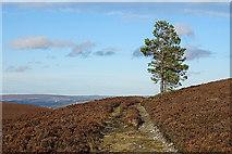 NJ1827 : Lone Pines by Anne Burgess