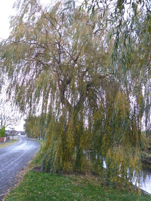 The willow has escaped this year