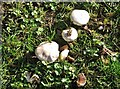 TG3109 : Mushrooms in Brundall cemetery by Evelyn Simak