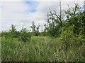 TG3427 : Alder trees in reedbed by Hugh Venables