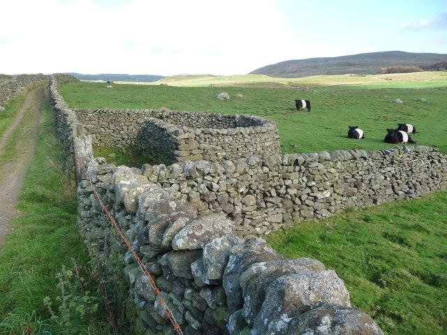 Belted Galloway cattle near a spiral sheepfold